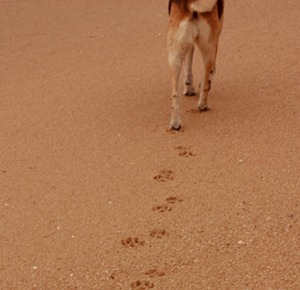Dog stepping forward through the sand by sziliotti on Flickr